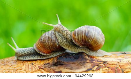 Two grape snails playing with each other