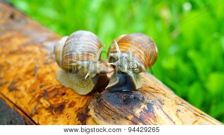 Horny grape snails are getting on their hind legs