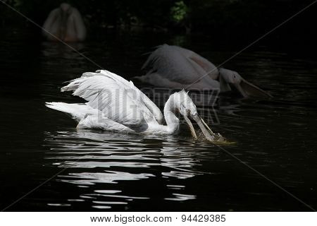 Dalmatian pelican (Pelecanus crispus) catching fish. Wildlife animal.
