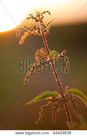 Nettle Flower At Sunset