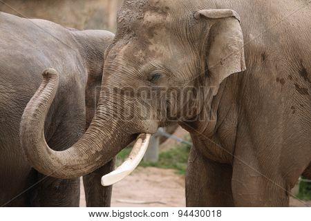Indian elephant (Elephas maximus indicus). Wildlife animal.