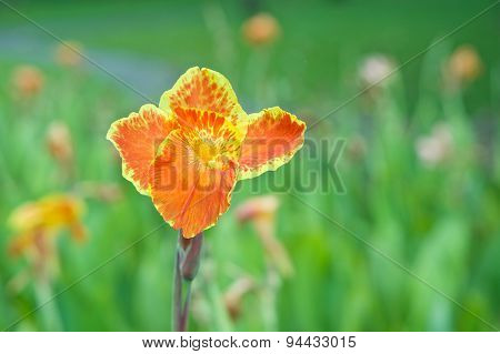 Canna Generalis Or Canna Lily