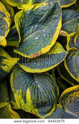 Wet leaves of Hosta