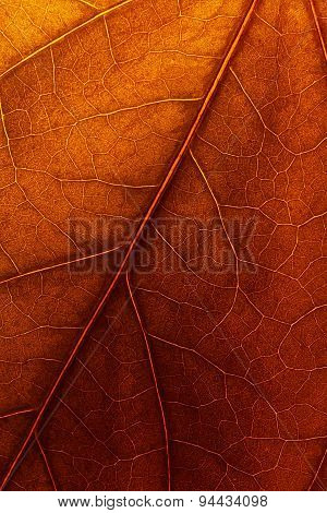 Texture Of Autumn Leaf