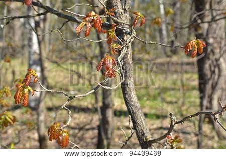 Young Oak Leaves.