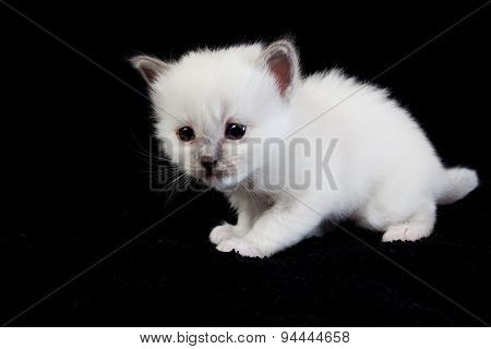 White kitten isolated on black