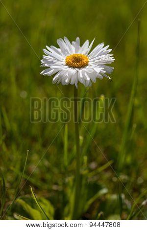 English Daisy (bellis Perennis)