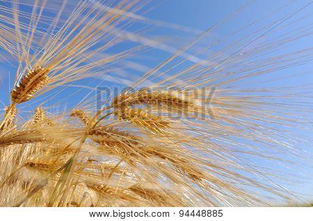 Corn Of Barley