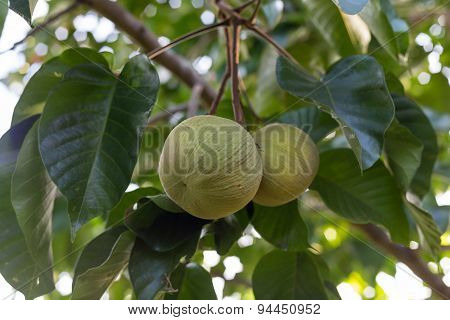 Green Santol Meliaceae Thai Fruit On Tree.