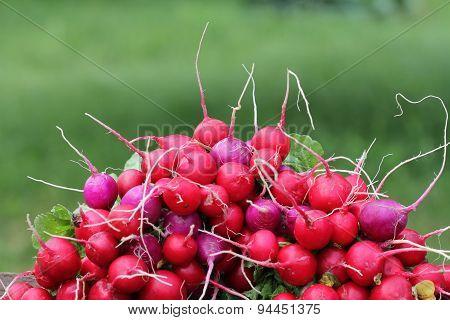 Pile of fresh radish