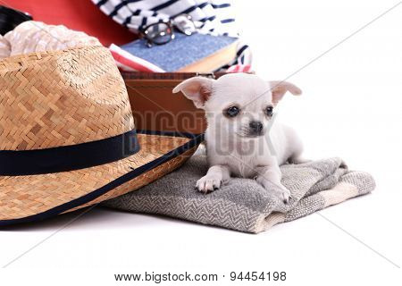 Adorable chihuahua dog and suitcase with clothing close up