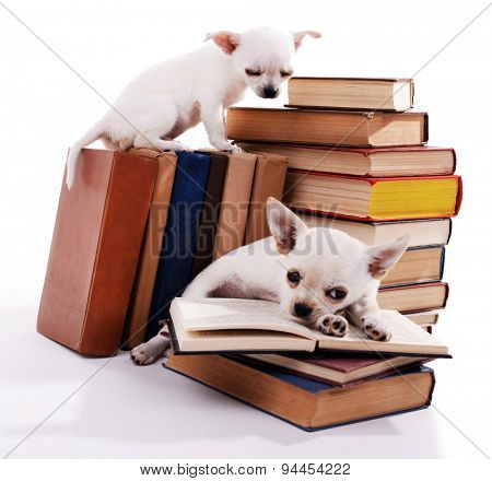 Adorable chihuahua dogs on heap of books isolated on white
