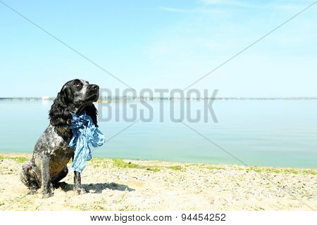 Russian spaniel on beach, outdoors