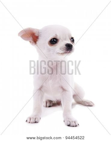 Adorable chihuahua dog isolated on white