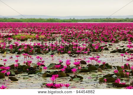 Sea Of Pink And Red Lotus At Udonthani Thailand (unseen In Thailand)