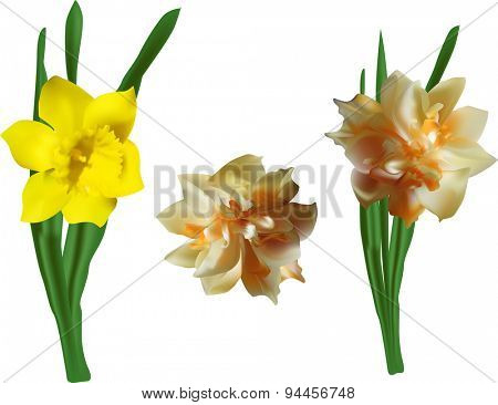 illustration with three narcissus flowers isolated on white background