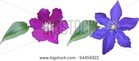 illustration with large blue and pink two flowers isolated on white background
