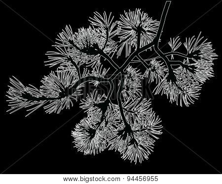 illustration with white pine branch isolated on black background