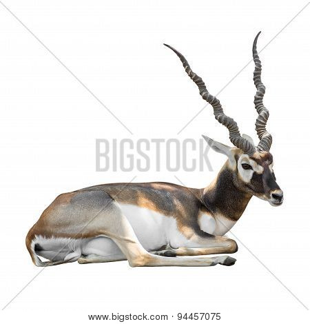 Prostrate Blackbuck