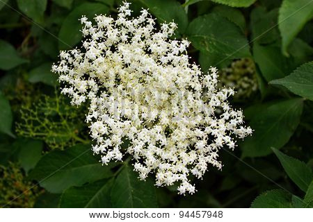 Blooming Elderflower In Garden