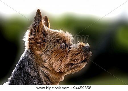 Yorkshire Terrier Play In The Garden