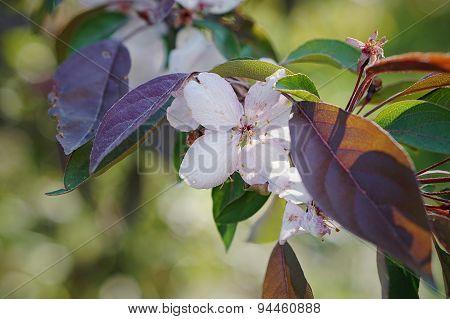 Chinese Flowering Crabapple