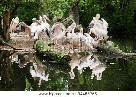 A Lot Of Pelican