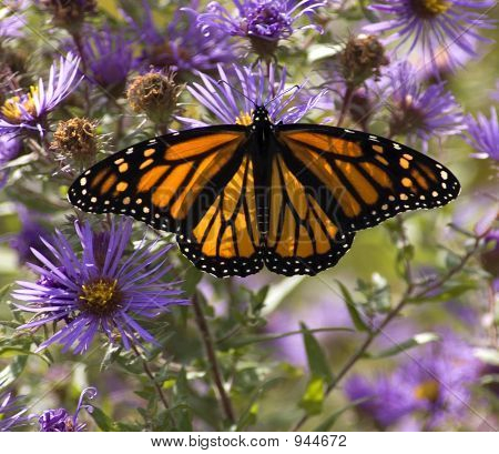Monarch Butterfly On Asters.