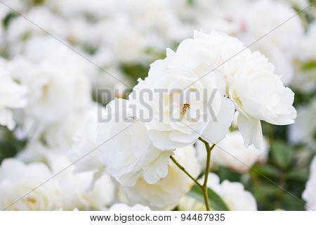 Macro Of White Roses