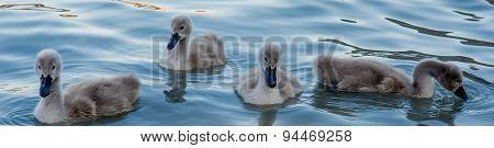Group Of Swan Hatchlings