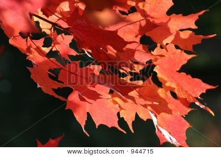 Red Leaf- Fall 12