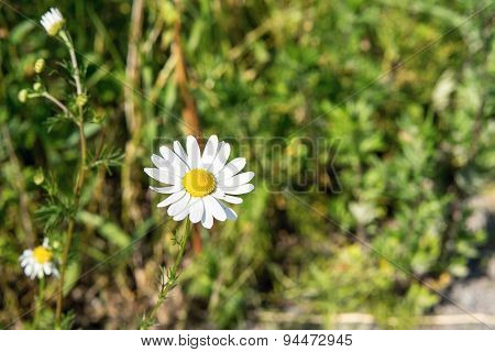 Lonely White Daisy Against A Green Grass