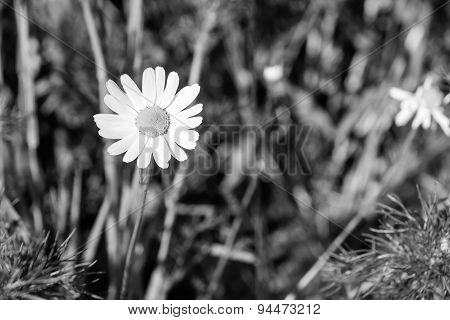 Lonely Daisy Against A Grass Of Monochrome Tone