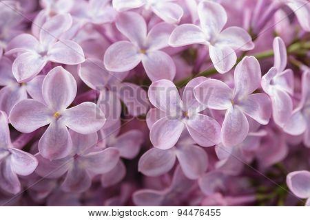 macro photo of purple lilac flowers