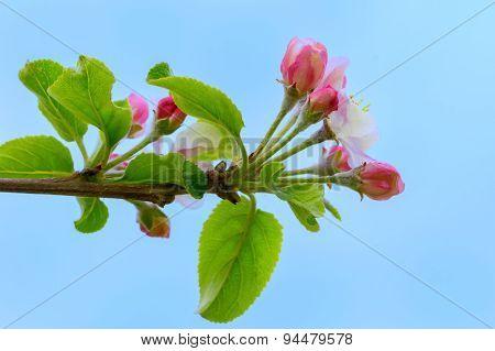 Blooming Apple Twig