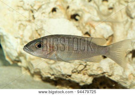 Female Of Cichlid Fish