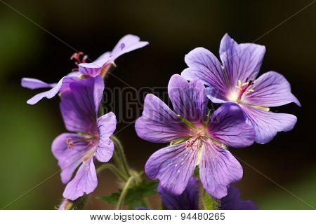 Four Purple Geranium Flowers