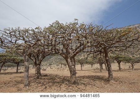 Frankincense Trees, Boswellia sacra, olibanum-tree