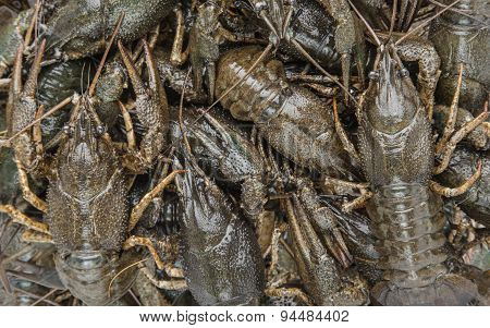 Crayfish As Background