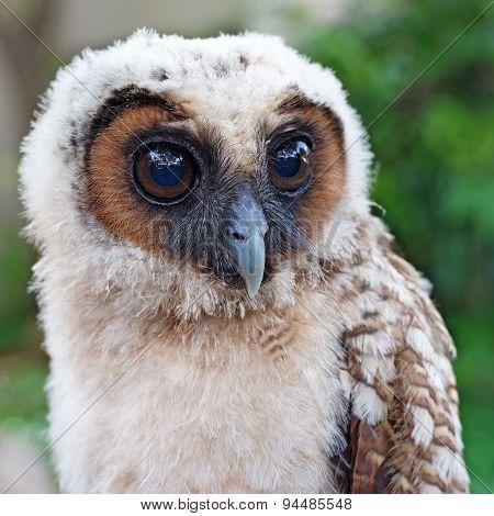 Ural Owl Or Strix Uralensis Bird