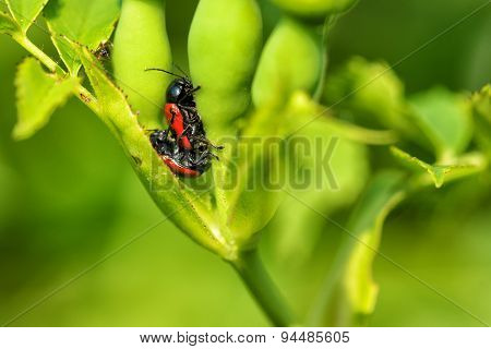 Two Red Bugs Mating
