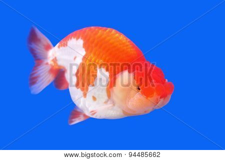 Beautiful Ranchu Or Lion Head Goldfish