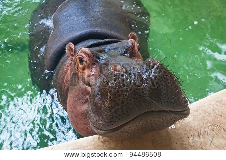 Adult Hippo Swimming In A Pool