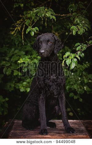 black curly coated retriever dog outdoors
