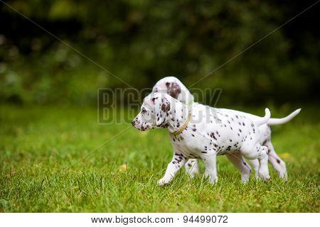 dalmatian puppies walking outdoors