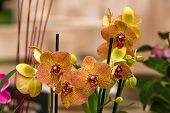 image of yellow orchid  - Beautiful yellow and pink tropical orchid flowers - JPG