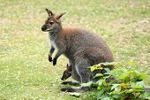 stock photo of wallabies  - Swamp wallaby  - JPG