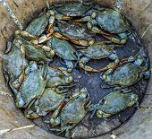 foto of blue crab  - A catch of Blue Crabs laying at the bottom of a bushel basket - JPG