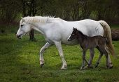 picture of foal  - The mare is run over the Meadow with the newborn foal - JPG