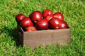 image of wooden crate  - Ripe red apples in wooden crate on green grass outdoors - JPG